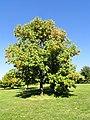 Fraxinus americana - University of Kentucky Arboretum - DSC09337.JPG