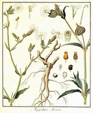 Peter Haas - Lychnis dioica L. is a synonym of Silene dioica (L.) Clairv., hand-colored engraving  by Peter Haas, 1809