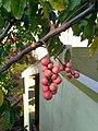 Fruits of Aphanamixis polystachya.jpg