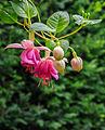 Fuchsia 'Rose of Denmark' 02.jpg