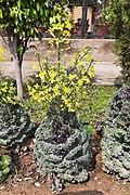 Fully grown Kale Flower (Brassica oleracea).jpg