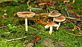 Fungus, Helen's Bay (9) - geograph.org.uk - 959081.jpg