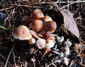 Fungus, Hillsborough forest 09-9 - geograph.org.uk - 1570684.jpg