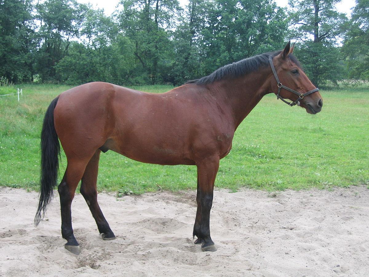 Württemberger Pferd