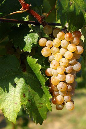 Furmint - Furmint grape cluster