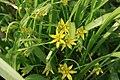 Gagea-lutea-flower.jpg