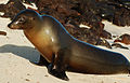 Galápagos sea lion (4202564508).jpg