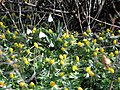 Galanthus nivalis-IMG 3953.jpg