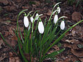Galanthus nivalis 'Anglesey Abbey 02.jpg
