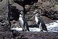 Galapagos Penguin (47725915092).jpg