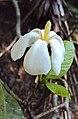 Gardenia gummifera 11.JPG
