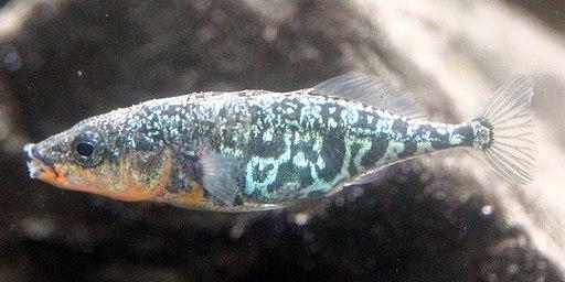Gasterosteus microcephalus