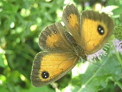 Gatekeeper Butterfly.JPG