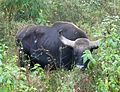Gaur or Indian Bison. Bos guarus - Flickr - gailhampshire (1).jpg