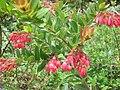 Gaylussacia brasiliensis 3.jpg
