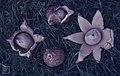 Geaster triplex, Westonbirt, September 1985 (30719975290).jpg