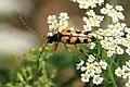 Gefleckter Schmalbock Rutpela maculata 0294.jpg