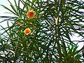 Gelber Oleander (348709752).jpg
