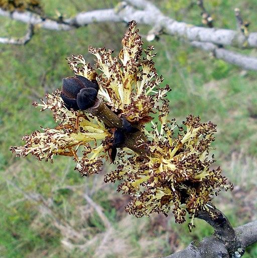 Gemeine Esche (Fraxinus excelsior) (2)