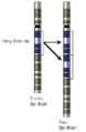 Gene-duplication vi.png