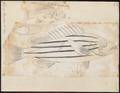 Genyoroge bengalensis - 1774-1804 - Print - Iconographia Zoologica - Special Collections University of Amsterdam - UBA01 IZ12900275.tif