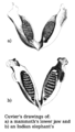 Georges Cuvier - Elephant jaw.png