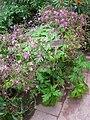Geranium canariensis - Berlin Botanical Garden - IMG 8785.JPG