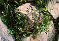 Geranium sibiricum1.jpg