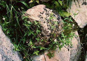 Sibirischer Storchschnabel (Geranium sibiricum)