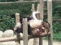 Giant Panda Conservation Centre in Zoo Negara Malaysia 2021 (11).jpg