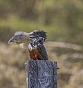 Giant kingfisher (Megaceryle maxima) female 3.jpg