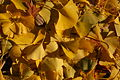 Ginkgo Tree Ginkgo biloba Leaves Cluster 3008px.jpg