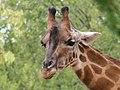 Giraffa camelopardalis (6337603379).jpg