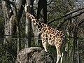 Giraffe (3282543123).jpg