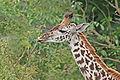 Giraffe feeding, Tanzania.jpg