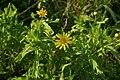 Glebionis segetum plant (05).jpg