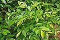Glochidion ferdinandi foliage.jpg