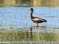 Glossy Ibis (Plegadis falcinellus) 1.jpg