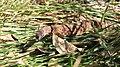 Goanna at Fern Pool Karijini.jpg