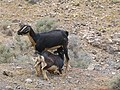 Goat - El Cofete - Jandia - Fuerteventura - 01.jpg