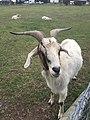 Goat at the Farm.jpg