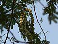 Gobli Mara (Kannada- ಗೊಬ್ಳಿ ಮರ) (2135461146).jpg