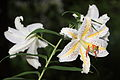 Gold-banded Lily 2 Lilium auratum Lindl. 山百合(ヤマユリ).jpg