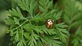Golden Tortoise Beetle (Charidotella sexpunctata) - Guelph, Ontario 01.jpg
