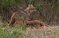Golden jackal & Chital carcass 1.jpg