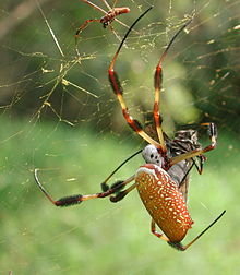 Golden silk spider - Nephila clavipes.jpg