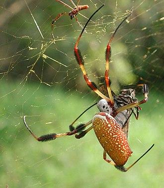 Golden silk orb-weaver - Nephila clavipes
