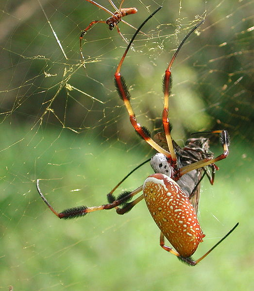 Файл:Golden silk spider - Nephila clavipes.jpg