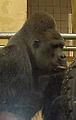 Gorilla beringei graueri01.jpg