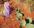 Gossypium sturtianum flower lat.jpg